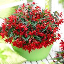 Begonia Plants - Crackling Fire Orange