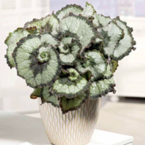 Begonia Plants - Escargot