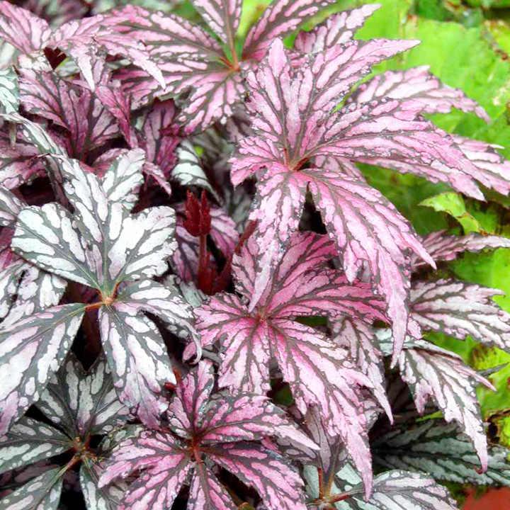 Begonia Plant - Metallic Rose Red