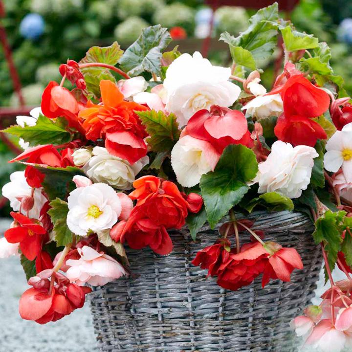Begonia Tubers - Pendula Odorata Mix