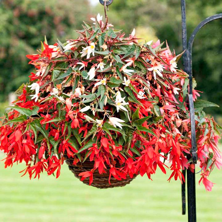 Begonia boliviensis Plants - Bossa Nova Mix