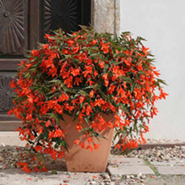 Begonia Plants - Copacabana Orange