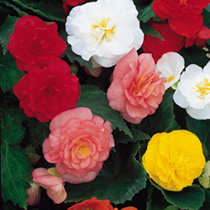 Begonia Seeds - Non-Stop Mixed F1