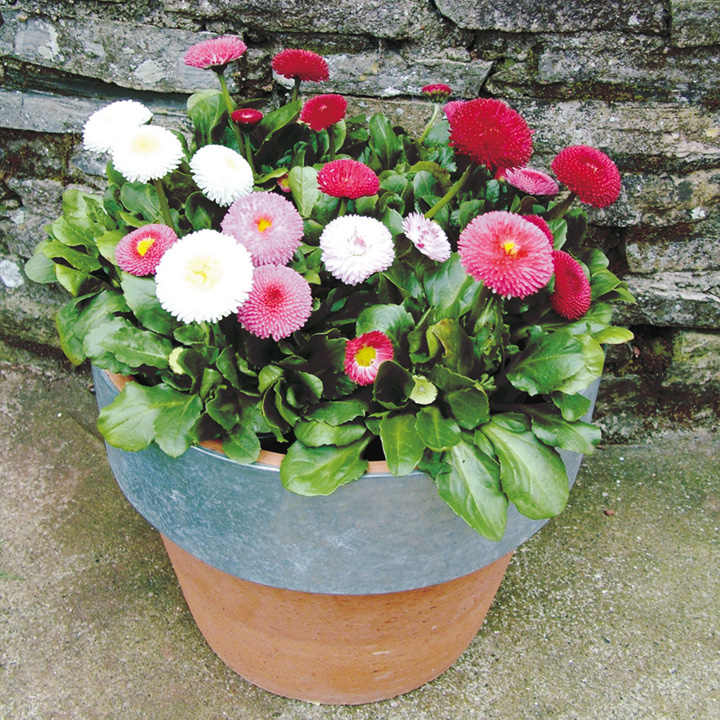 Bellis Plants - Spring Star Mix