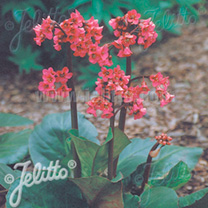 Bergenia Seeds - Winterglut