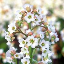 Bergenia Plant - Bressingham White