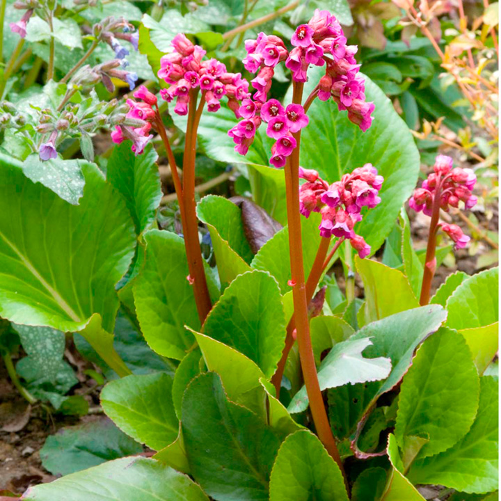 Bergenia Plant - Winterglow