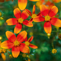 Bidens Plants - Hawaiian Flare Orange Drop