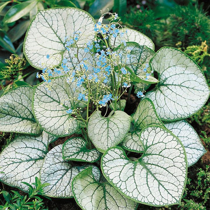 Brunnera Plant - Jack Frost
