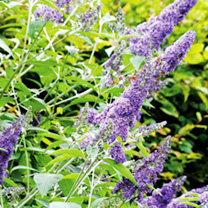 Buddleia Plant - davidii Lochinch