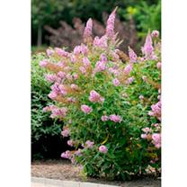 Buddleja Plant - Flutterby Pink