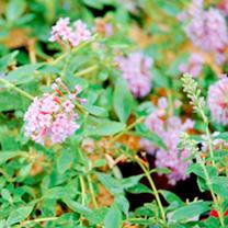 Buddleja Plant - Flutterby Peace