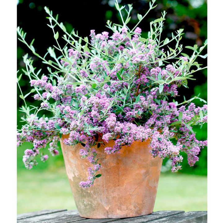 Buddleja alternifolia Plant - Unique