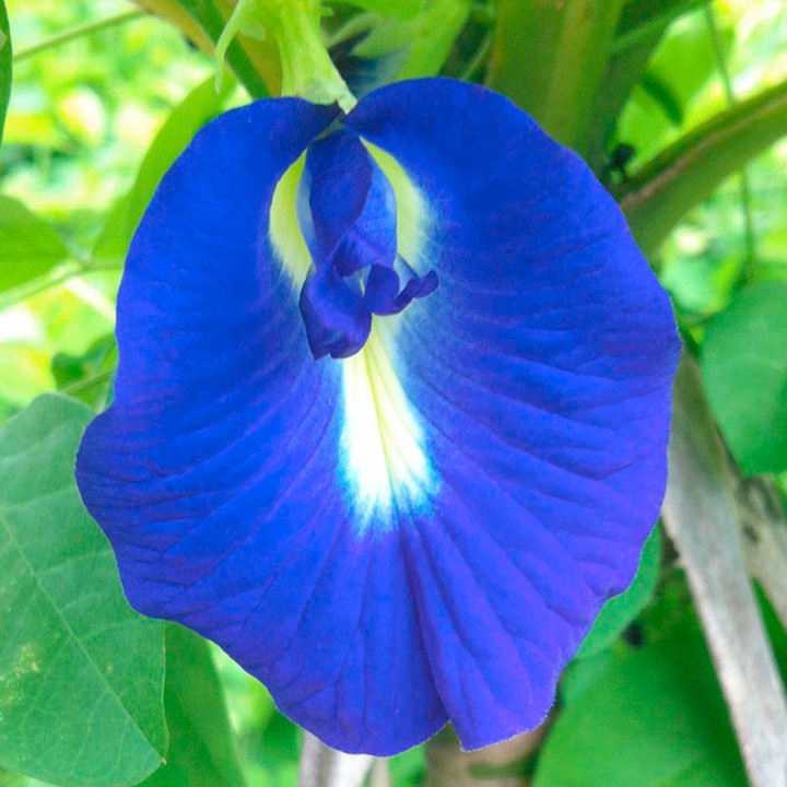 Butterfly Pea Seeds