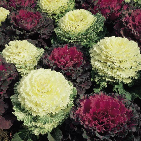 Cabbage Seeds - Ornamental Mixed Colours