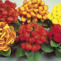 Calceolaria Seeds - Bubblegum Mixed F2