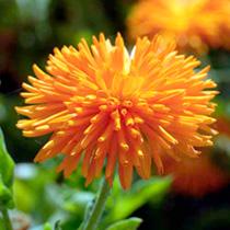 Calendula Plants - Porcupine