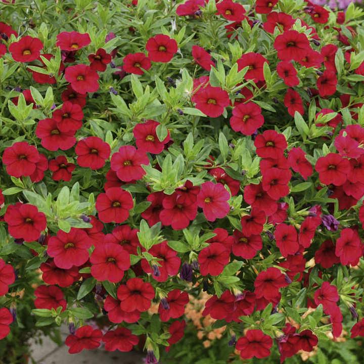 Calibrachoa Plant - Carnival Red