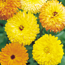 Calendula Pacific Beauty Seeds