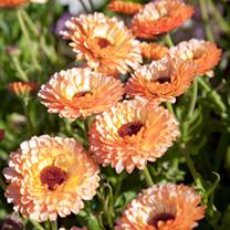 Calendula Plants - Pink Surprise