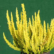 Heather Plant - Calluna vulgaris Garden Girls Zeta