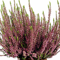 Heather Plant - Calluna vulgaris Garden Girls Rosita