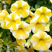 Calibrachoa Plants - Superbells Lemon Slice