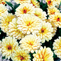 Calendula Winter Creepers Plants - Blond & Brisk