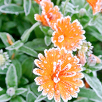 Calendula Winter Creepers Plants - Orange Ice