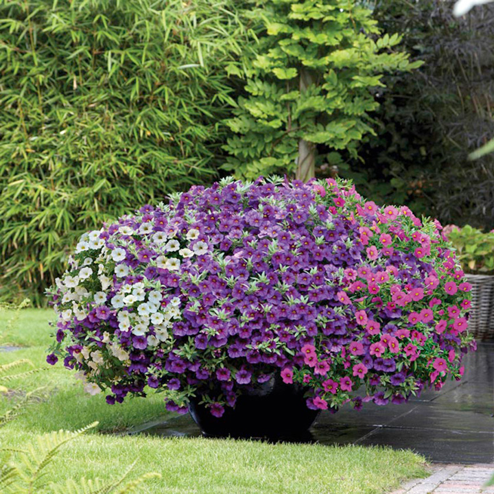 Calibrachoa plants f1 kabloom container plants - Calibrachoa perenne ...
