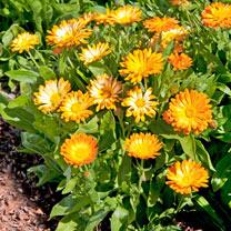 Calendula Seeds - Oopsy Daisy