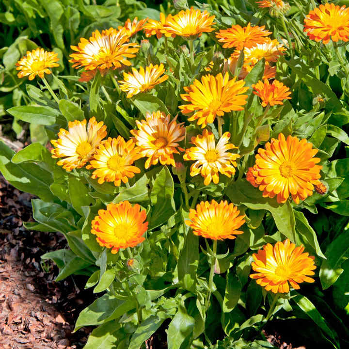 calendula seeds how to grow