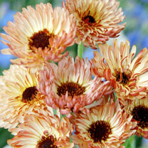 Calendula Seeds - Touch of Red Buff
