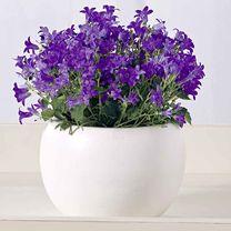 Campanula Plant - Blue One