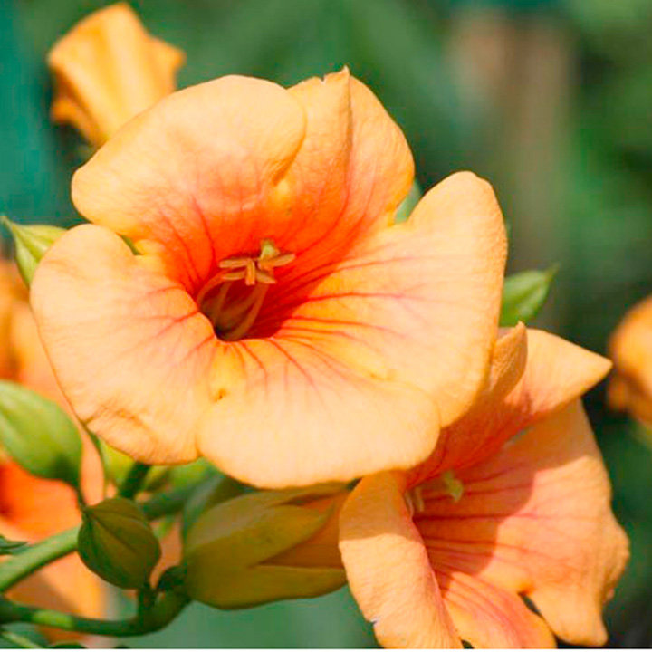 Campis radicans Plant - Indian Summer