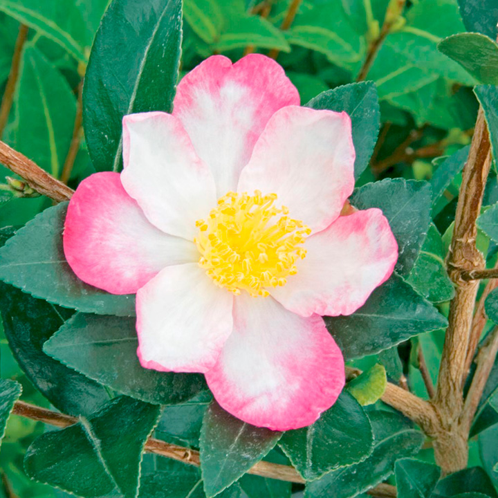 Camellia Plant - Rainbow
