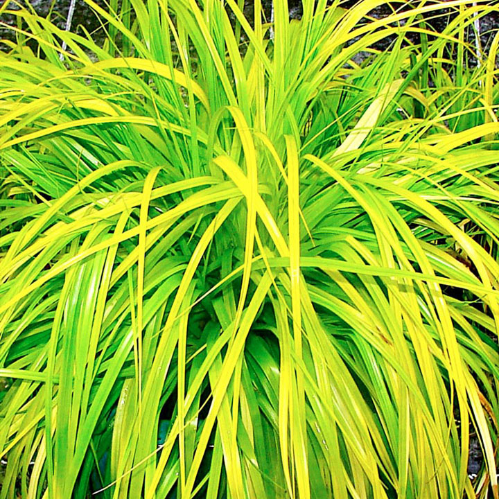 Carex Plant - Everello