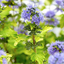 Caryopteris clandonensis Plant - Hint of Gold