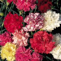 Carnation Seeds - Chabaud Enchantment