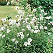 Catananche caerulea Plant - White