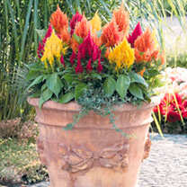 Celosia Plants - Fashion Look Mix