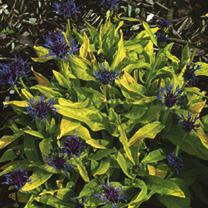 Centaurea Plant - Gold Bullion