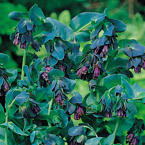 Cerinthe Plant - Purple
