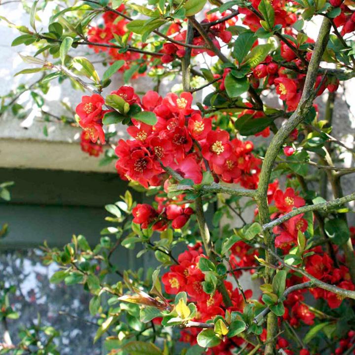 Chaenomeles japonica Plants