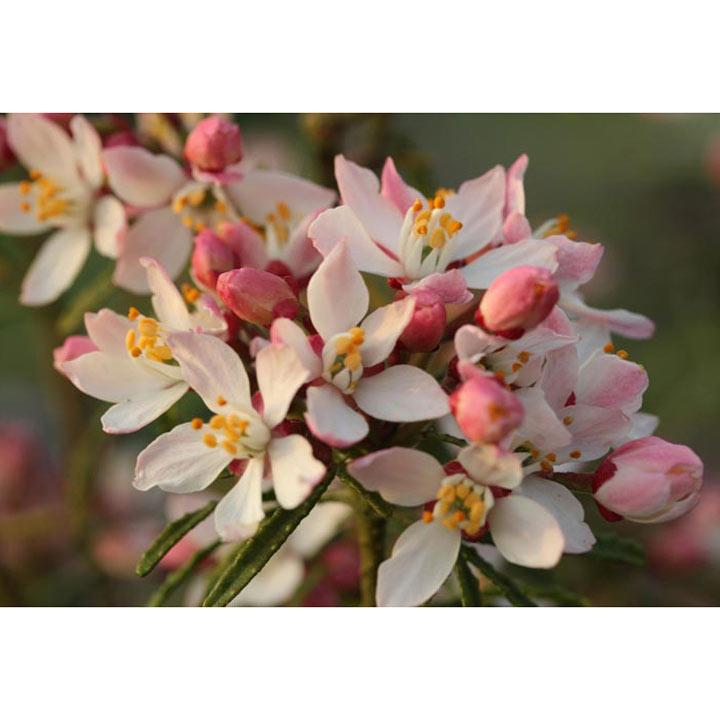 Choisya Plant - Apple Blossom