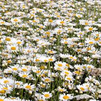 Chrysanthemum Seeds - Summer Sparkler