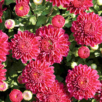 Chrysanthemum Plants - Collection