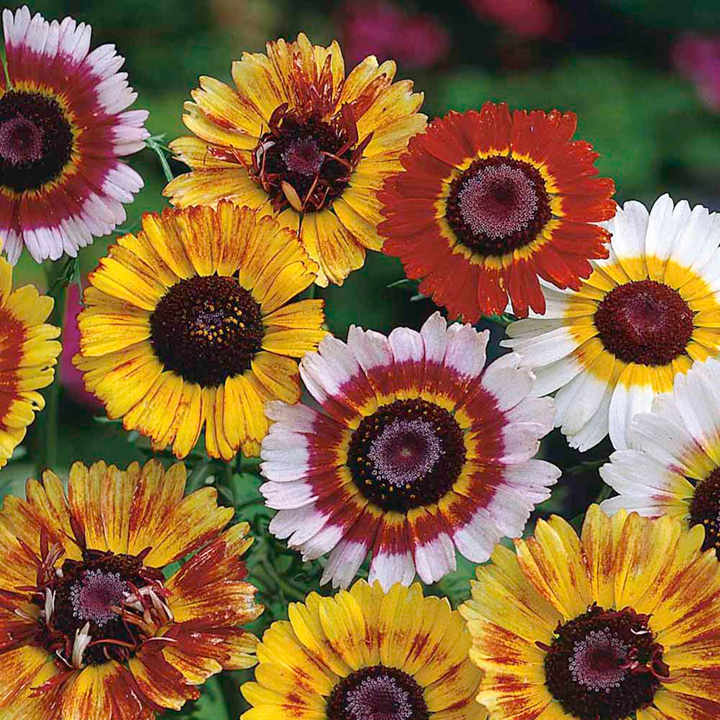 Chrysanthemum Seeds - Dobies Rainbow Mixed