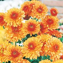 Chrysanthemum Spray Plants - Collection