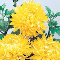 Chrysanthemum Plants - Bloom Collection